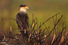 Crested Caracaras of Florida :