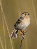Florida Grasshopper Sparrow :